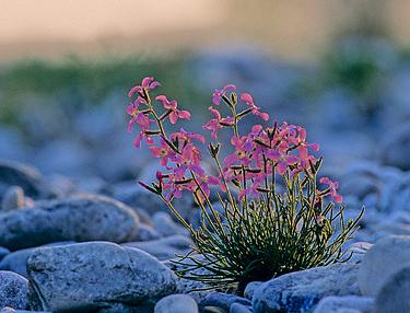 Gėlės, dviragė leukonija