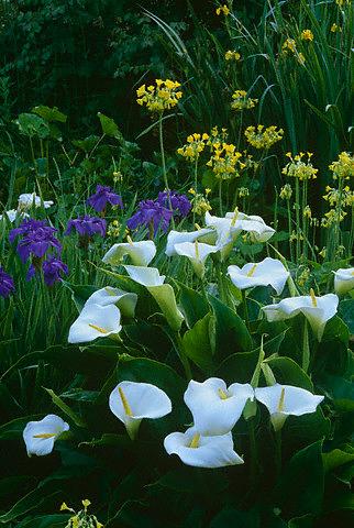Gėlės, aronai
