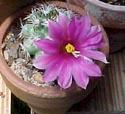 Kaktusai_9