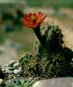 Kaktusai_23