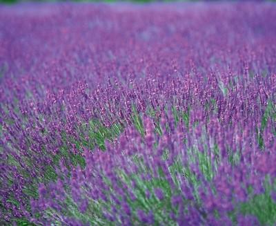 gėlė padeda sergant hipertenzija