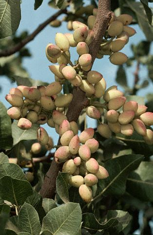 pistacijos