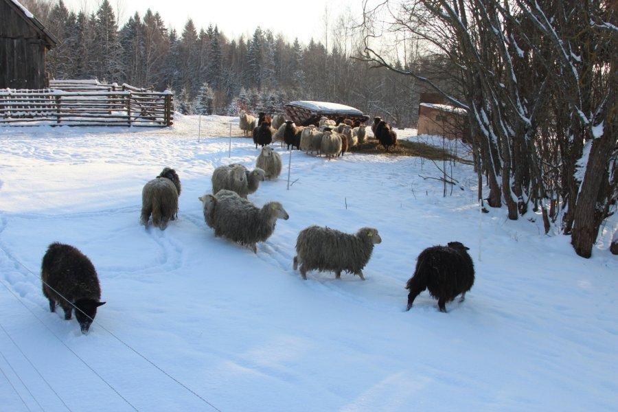 juodos avys 2010 | temp