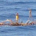 Nuo cunamio išsigelbėjęs indonezietis ant palmės