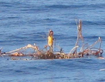 """Nuo cunamio išsigelbėjęs indonezietis ant palmės """"dreifuoja"""" Indijos vandenyne"""