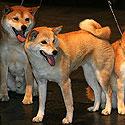 Tarptautinė bonsai ir suiseki paroda Alytus 2005. Japoniškų veislių šunys