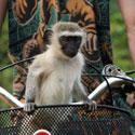 Bezdžionėlė vežama dviračio krepšelyje