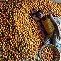 Darbininkas miega ant mandarinų Indijoje