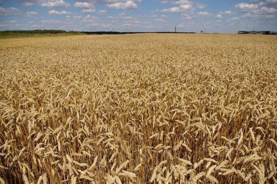 Жаркая погода в Литве обусловила раннюю жатву