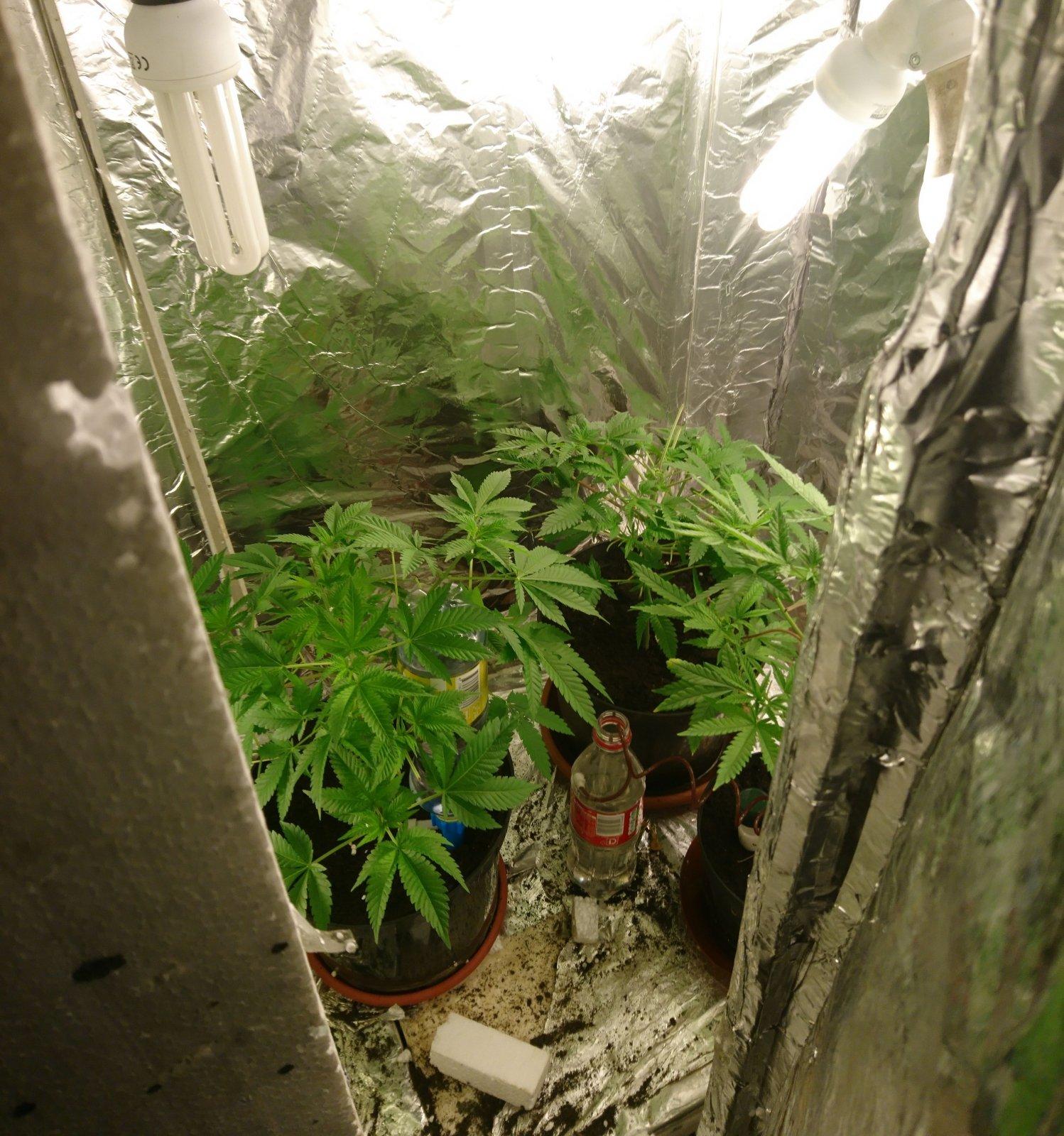 Коноплю в гараже гидропоника конопли урожай