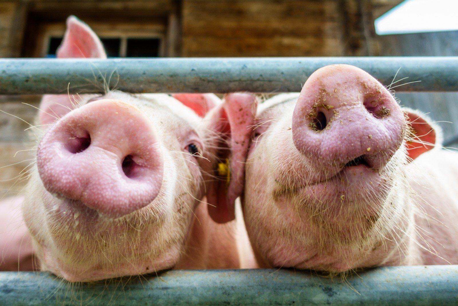 3 mažų kiaulių prekybos sistema