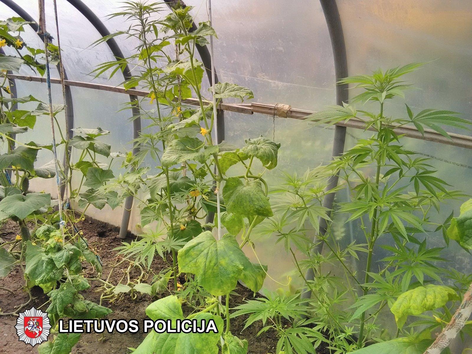 конопляных семян купить