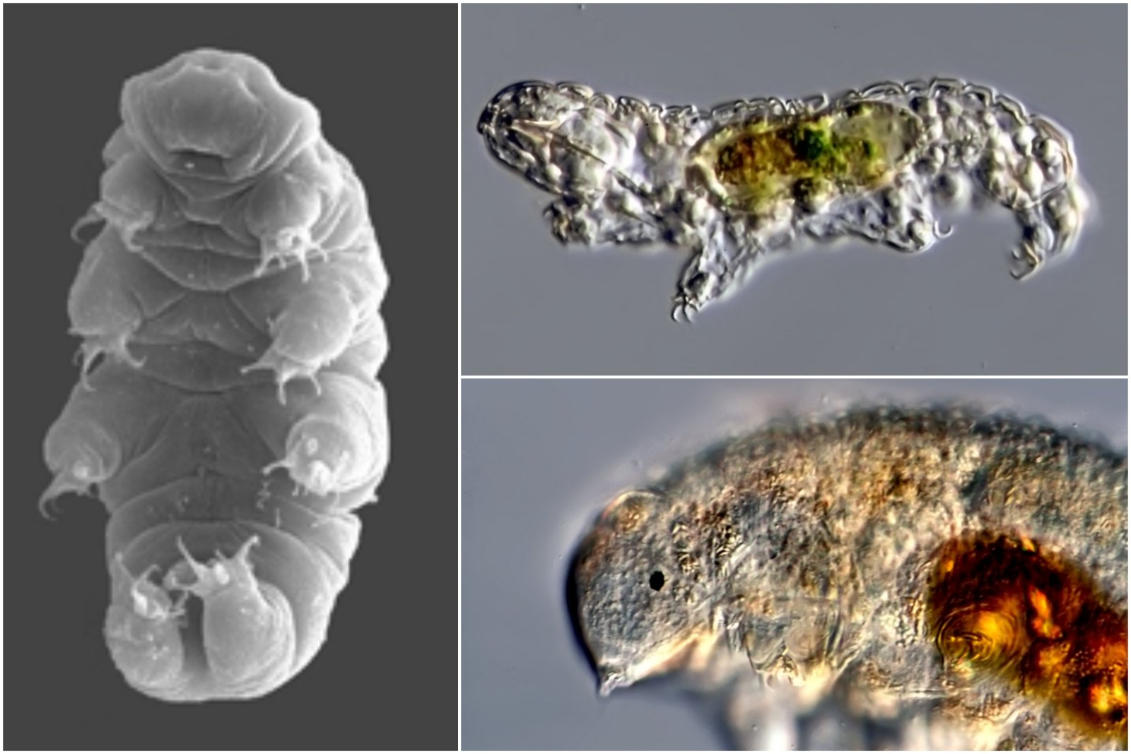 Shot in slow motion – only 0.5mm in size, but the toughest creature in the world