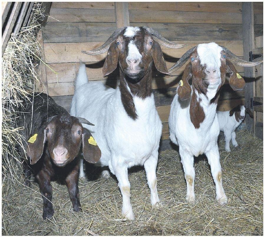 svorio netekimas ožkų veislynuose