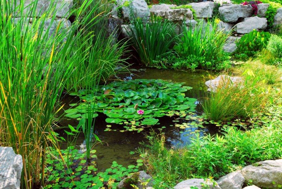 Tvenkinio augal komponavimo patarimai for Deep pond plants
