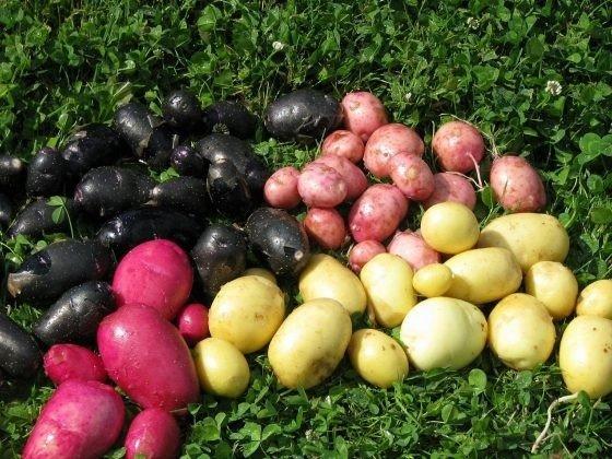 Visos bulvės